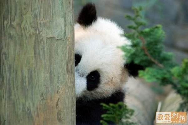 sweet panda 05 Is It No Wonder The World Has Fallen In Love With These Animals!