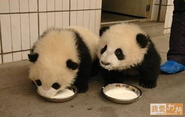 sweet panda 10 Is It No Wonder The World Has Fallen In Love With These Animals!