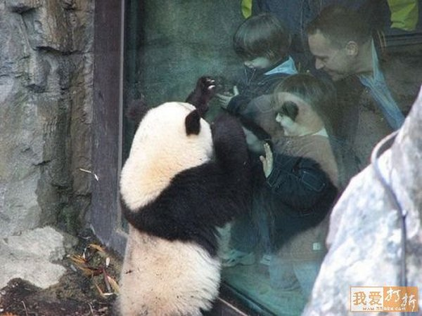 sweet panda 11 Is It No Wonder The World Has Fallen In Love With These Animals!