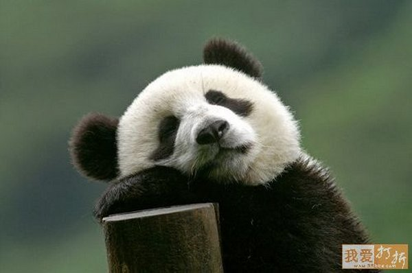 sweet panda 13 Is It No Wonder The World Has Fallen In Love With These Animals!