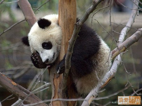 sweet panda 14 Is It No Wonder The World Has Fallen In Love With These Animals!