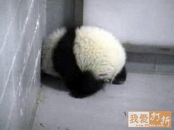 sweet panda 15 Is It No Wonder The World Has Fallen In Love With These Animals!
