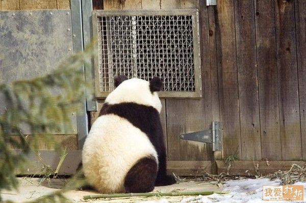 sweet panda 16 Is It No Wonder The World Has Fallen In Love With These Animals!
