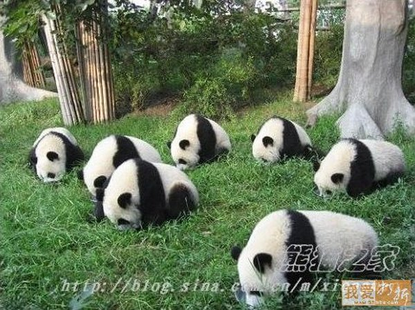 sweet panda 17 Is It No Wonder The World Has Fallen In Love With These Animals!