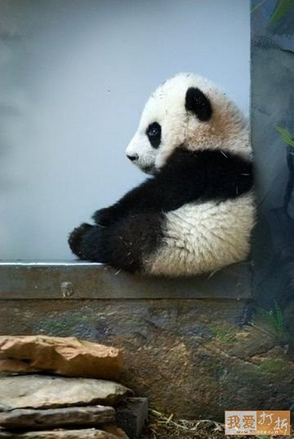 sweet panda 18 Is It No Wonder The World Has Fallen In Love With These Animals!