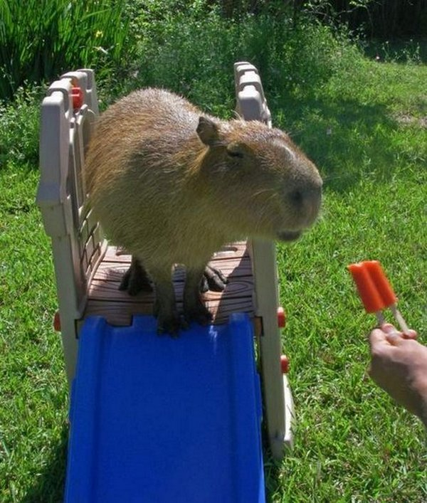 the capybara 14 The Capybara   The Largest Living Rodent In The World