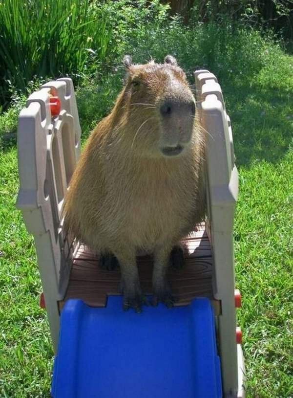 the capybara 15 The Capybara   The Largest Living Rodent In The World