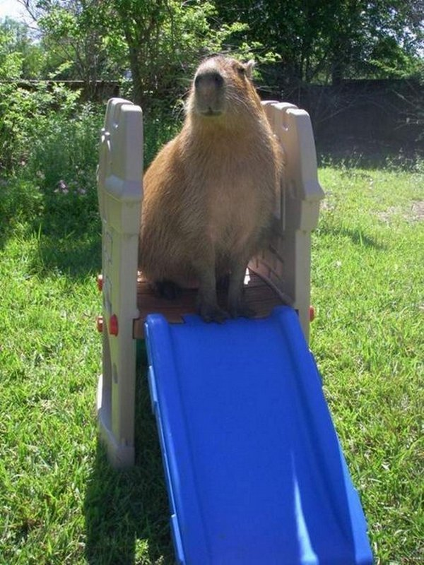 the capybara 16 The Capybara   The Largest Living Rodent In The World