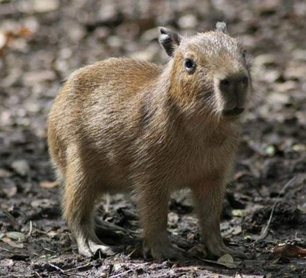 The Capybara - The Largest Living Rodent In The World
