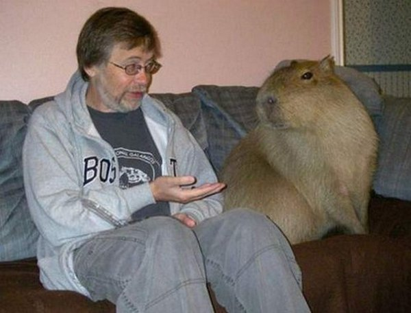 the capybara 23 The Capybara   The Largest Living Rodent In The World