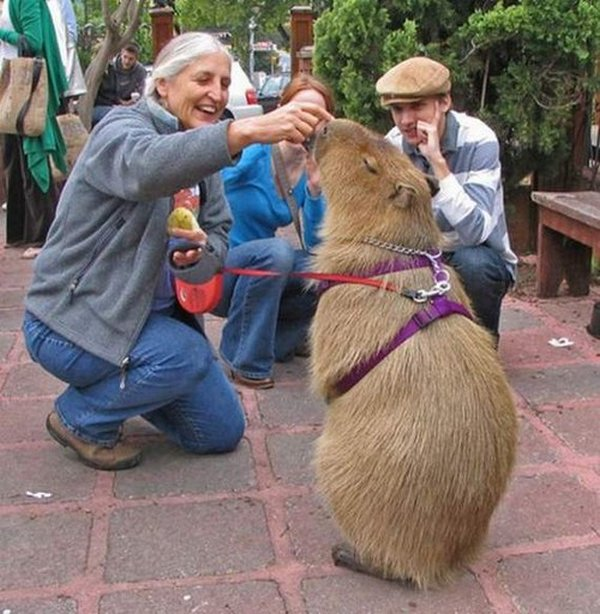 the capybara 24 The Capybara   The Largest Living Rodent In The World