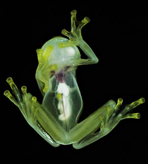 glass frog 04 Stunning Photos of Transparent (Centrolenidae) Frog