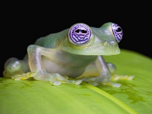 glass frog 09 Stunning Photos of Transparent (Centrolenidae) Frog