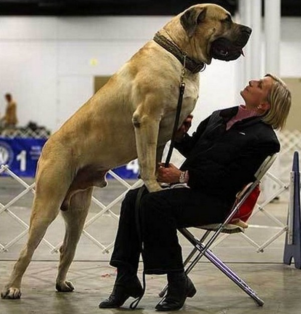 dogs who do not realize how huge 04 Dogs That Do Not Realize How Huge They Are