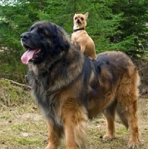 dogs who do not realize how huge 09 Dogs That Do Not Realize How Huge They Are