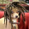 Crazy Dog Hairstyles