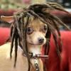 Crazy Dog Hairstyles