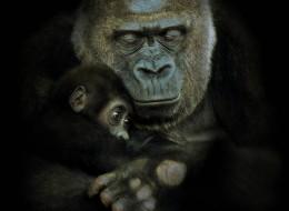 20 Remarkable Photos Of Gorillas