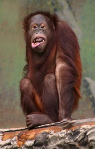 orangutang laughing 192x300 Laughter: Healthy Spirit with Healty Hummor