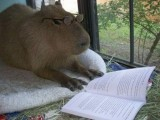 The Capybara – The Largest Living Rodent In The World